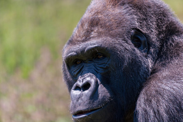 Uganda vows not to rise cost of gorilla permits