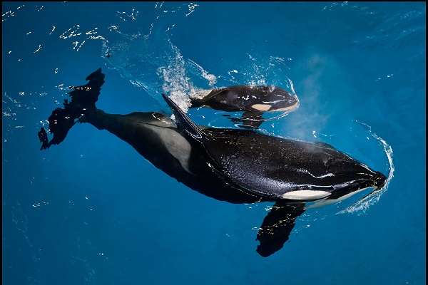 Last SeaWorld killer whale born in captivity